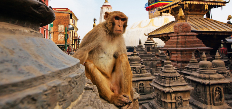 Monkey_at_swyambhu