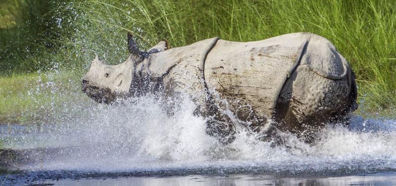 OneHorned_Rhinoceros