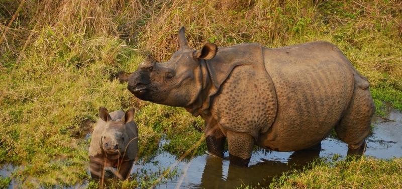 one-horned-rhino-chitwa