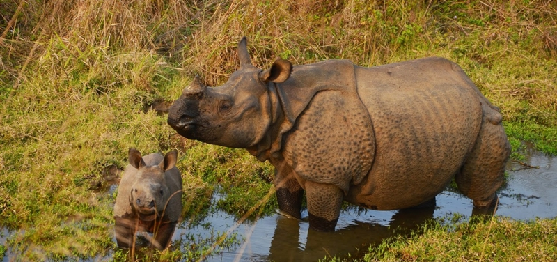one-horned-rhino-chitwan